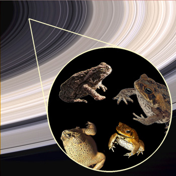 Earth's new rings will consist of millions of frozen cane toads.